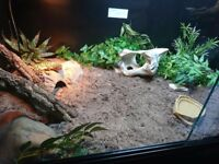 Jungle leopard geckos, female and brand new HUGE setups