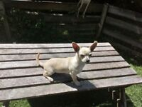 Lovely cream puppy short haired chihuahua male