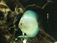Buy one get one free... Big beautiful 6/7 inch discus.