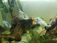 Blue jewel cichlids