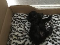 X bred poodle puppies for sale only one left