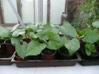 Pot/Compost Grown Runner Beans