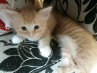 Siberian X Female Kitten. Very pretty & fluffy. Ready Now
