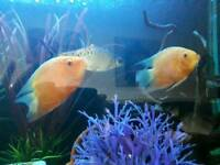 Red spotted severums tropical fish