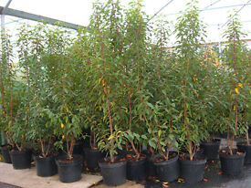 PORTUGESE LAUREL 10lt potted 5ft tall £20 top luxury evergreen hedging.low low price, topvalue