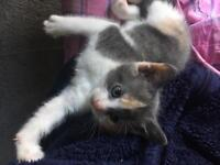 Female kitten SOLD