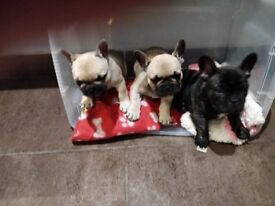 FRENCH BULLDOG PUPPIES - both lilac carriers