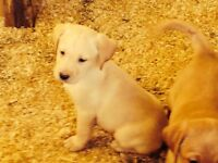 Gorgeous yellow Labrador puppies forsale