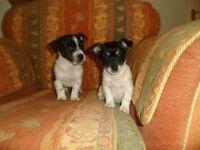 jack russell short leg pups,microchipped