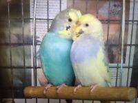 Beautiful colourful baby budgies for sale