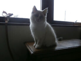 Beautiful Ragdoll pedigree female kitten ready now!