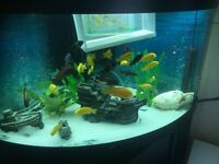"yellow lab cichlids 1.5"" to 3"" big £1 for a inch got around 7 for sale"