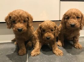 FOX RED COCKAPOO PUPPIES FOR SALE