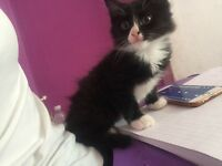 Half turkish angora black and white kitten