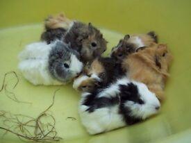 Guinea Pig Babies For Sale