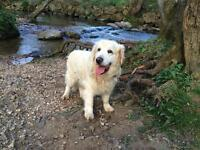 14 year old Golden Retriever for Sale
