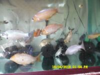 """KOI CARP FOR SALE 3"""" to 4"""" £4 Each, 10 month old ,NOT MANY LEFT, SO DON'T MISS OUT"""