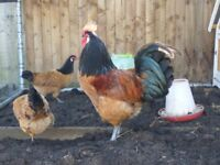 RARE BREED Vorwerk large fowl Rooster for Sale