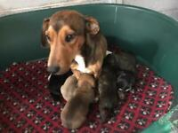 3/4 Dachshund 1/4 Jack Russell Puppies For Sale