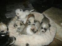 maltese x chihauhau mini pups 2 girls long coats and one very very tiny little boy short coated
