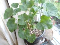 A Pelargonium plant in a 15 cm black pot (Indoor plant)