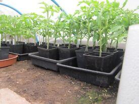 tomato, cucumber, courgette, winter squash plants