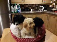 Cavapoo puppies ready now 2 boys