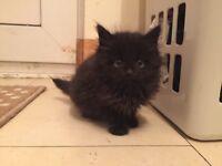 Persian kitten ready now