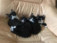 Kittens for sale just 2 left