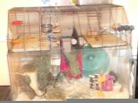 2 Male Degus in glass based cage with everything you need!