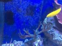 Green acropora sps coral
