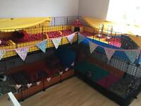 Large c and c cage for guinea pigs