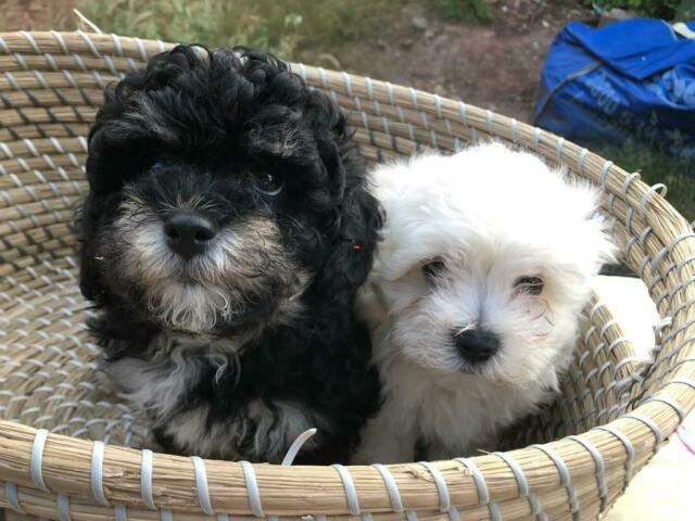 Puppies for sale | in Cyncoed, Cardiff | Gumtree