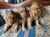 Cocker spaniel puppy's