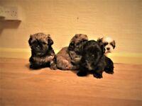 SMALL BREED Shihtzu/shih-tzu puppies (shih tzu)