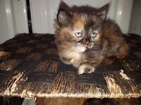 4 Fluffy Kittens