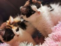Two beautiful fluffy kittens Ragdoll Persian females