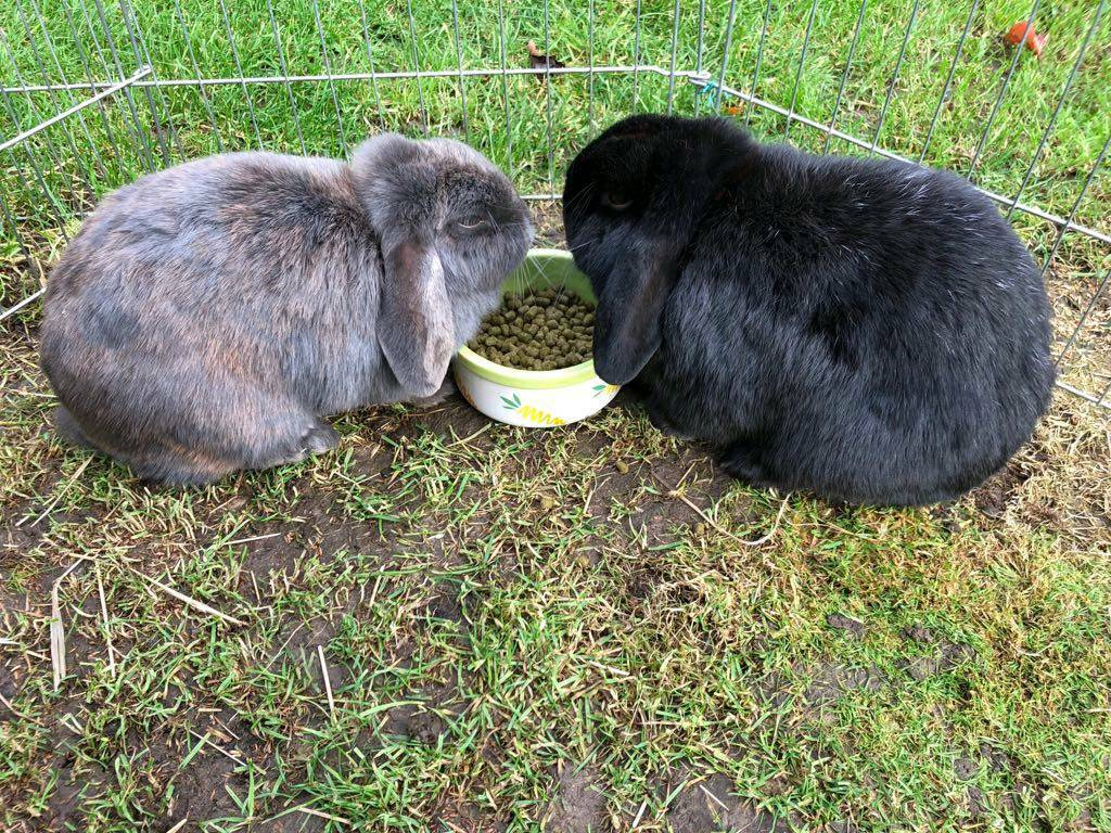 2 rabbits for rehoming