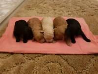 Toy poodle pedigree puppys