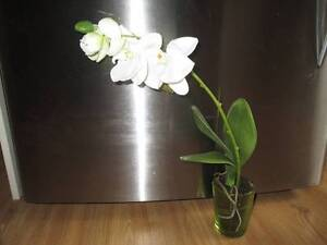 3 Orchids real looking 'Phalaenopsis' Glass Pot 53cm NEW Altona Meadows Hobsons Bay Area Preview
