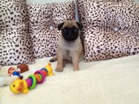 kc registered pug puppies ready now