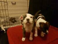 Staffy pup's for sale