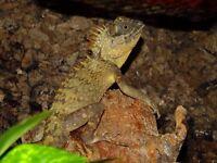 Lizards for sale: Mountain Horned Dragon (Acanthosaura capra)