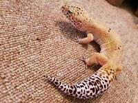 Male and female leopard gecko