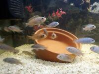 Jalo reef cichlids