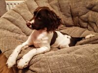 Springer Spaniel In Northern Ireland Dogs Puppies For