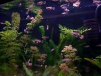 Tropical fish - Guppies and others