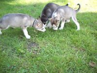ADORABLE 8 WEEKS OLD SIBERIAN HUSKY PUPPYS KC REGISTERED PEDIGREE
