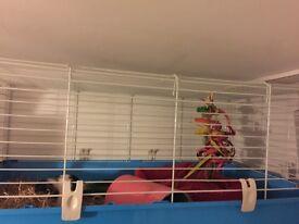 2 female guinea pigs to go to a new home