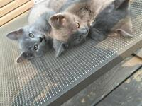 3 Cute gray male kittens-very tame!
